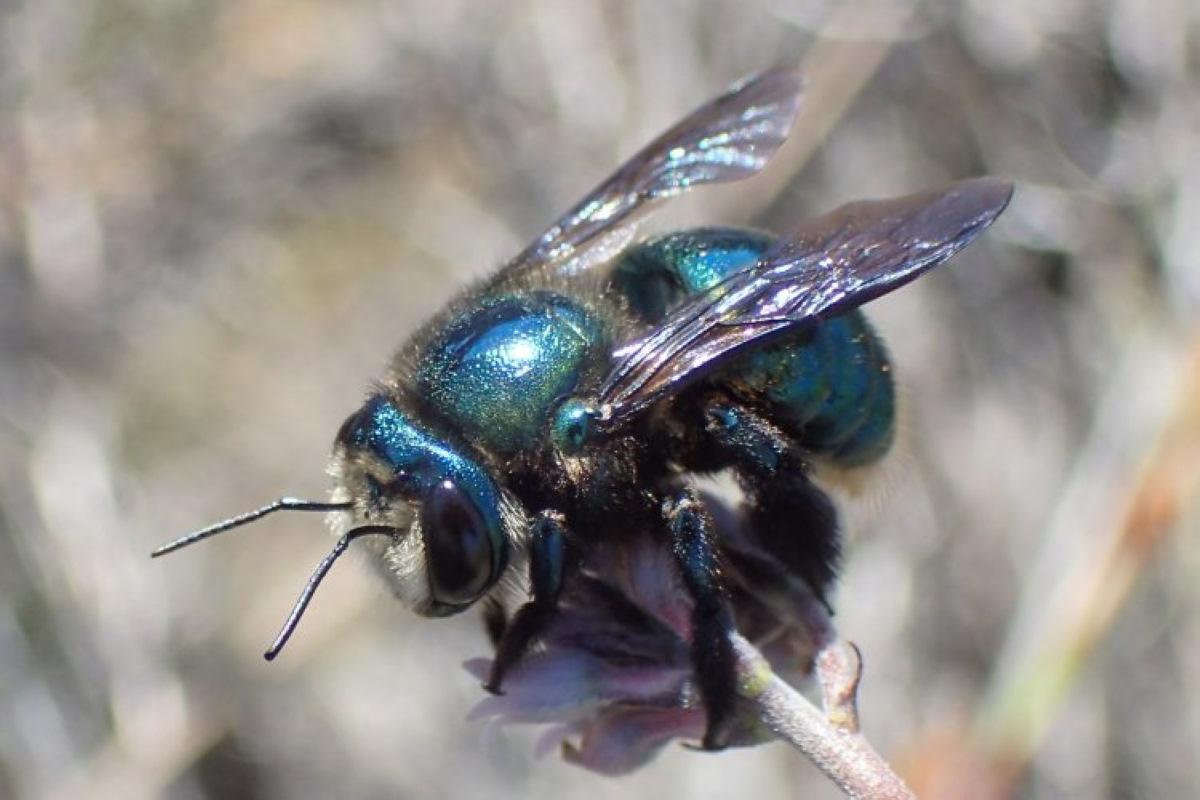 Los científicos luchan por salvar a la abeja verde brillante después de los incendios de verano en Australia ...