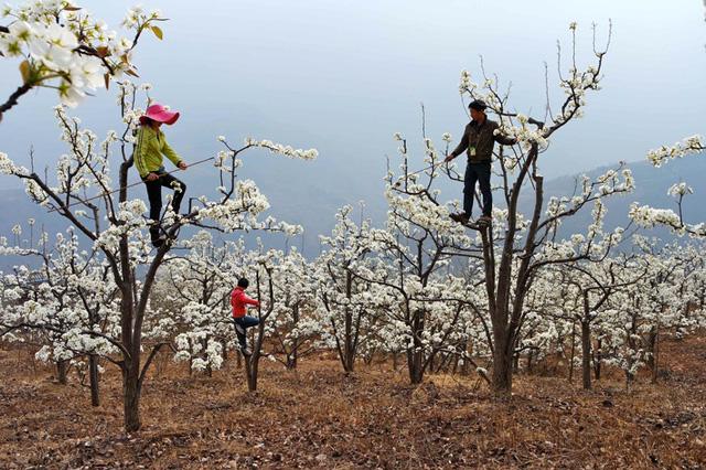 Los agricultores chinos polinizan a mano los frutales...