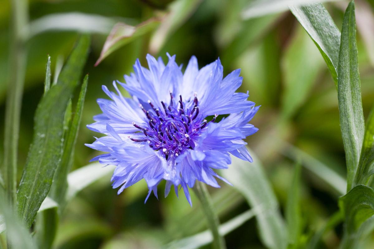 ¿Adiós aciano? La muerte de abejas e insectos polinizadores pone en riesgo las semillas de flores ...