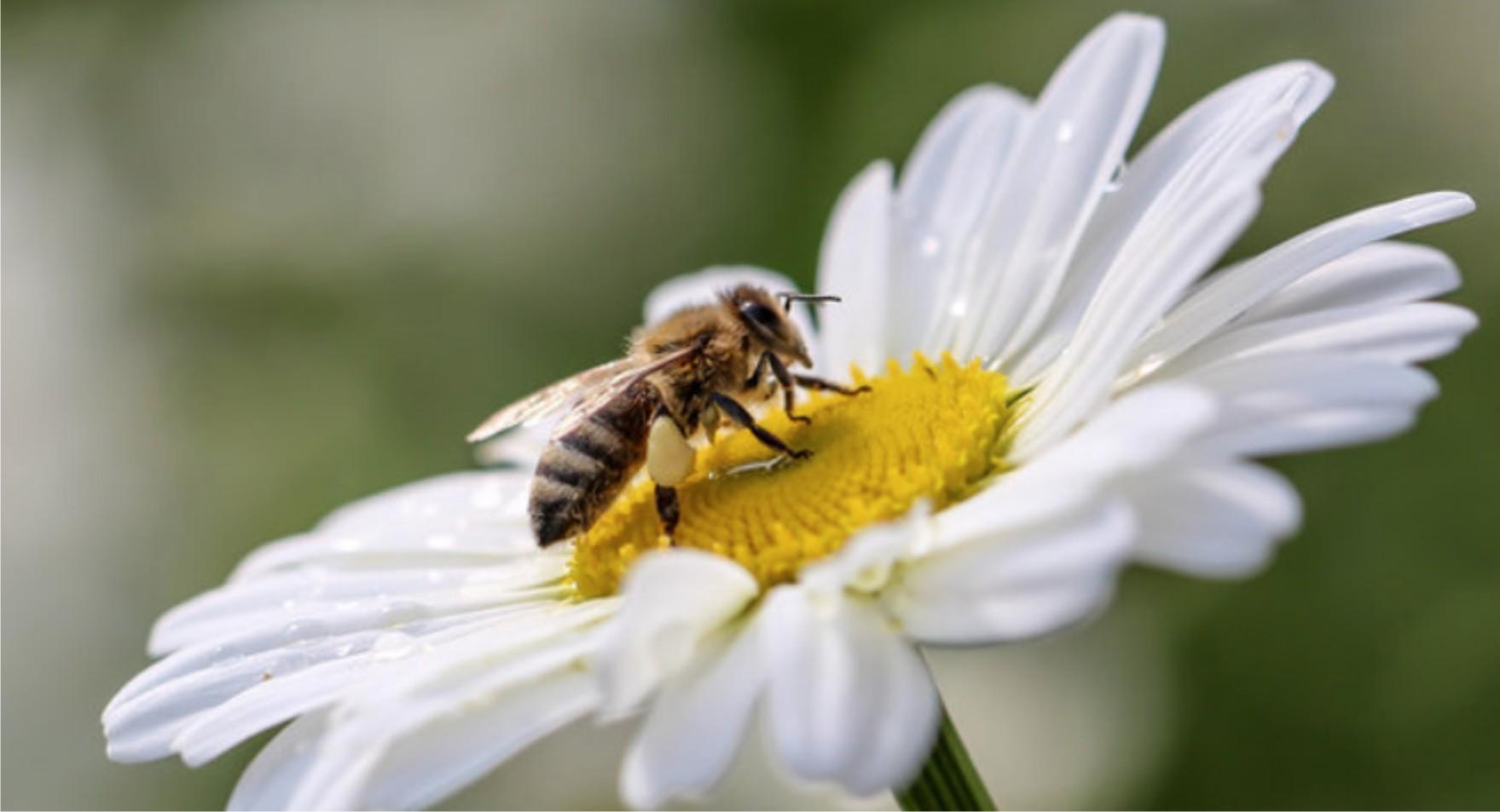 ¿Cuántas flores tienen que visitar las abejas para producir 1 kg de miel?