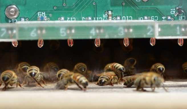 Así consiguen las abejas resistir el calor del verano en sus colmenas...