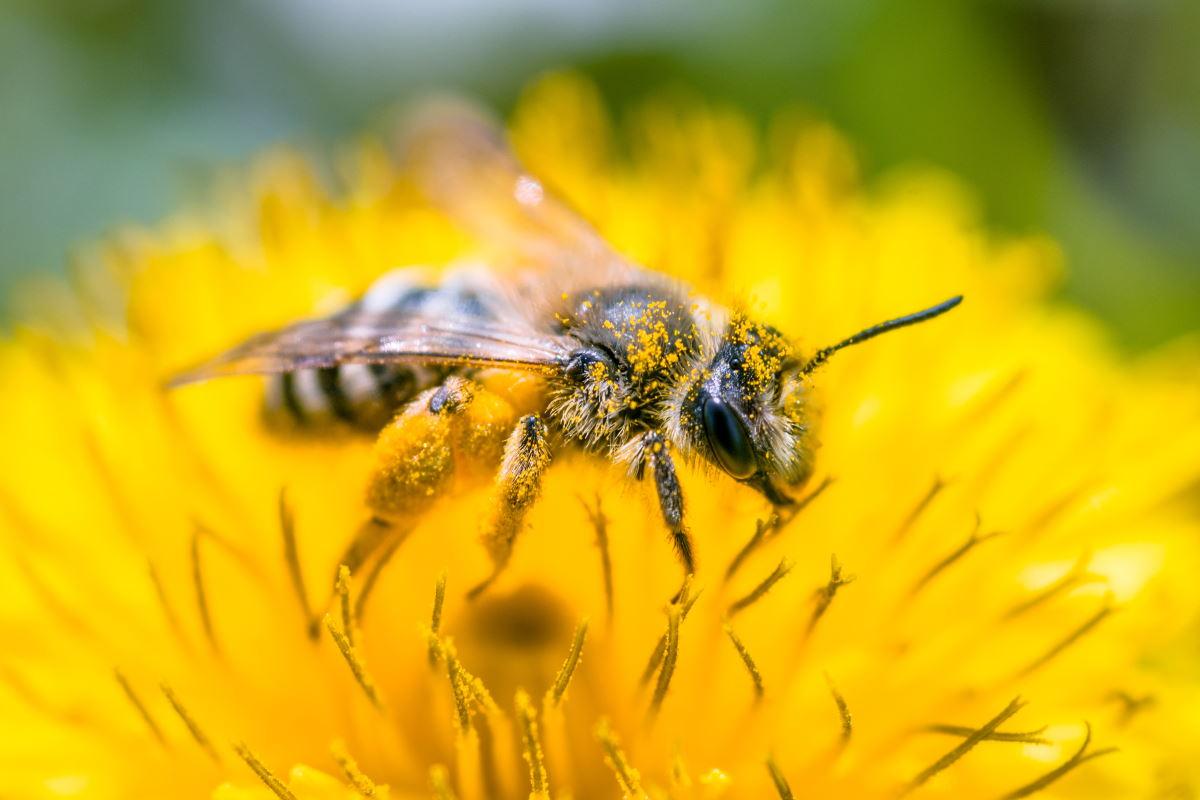 Las abejas están en peligro: muchas especies ya ni siquiera se cuentan. El impactante estudio ...