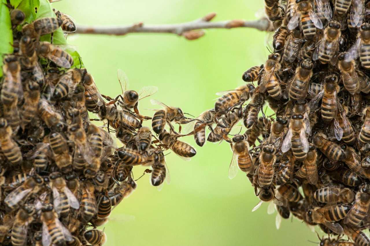 Revelados detalles sobre el apareamiento de abejas: aquí es donde realizan sus vuelos nupciales