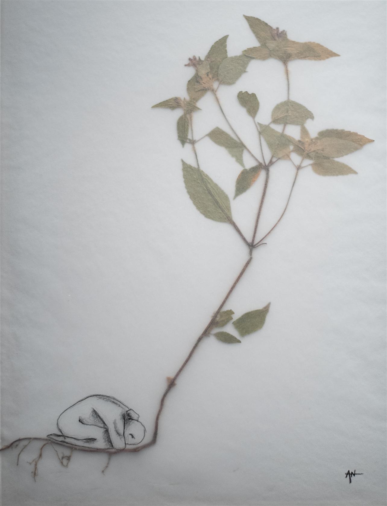 Plante séchée, crayon, calque sur papier. 2018.