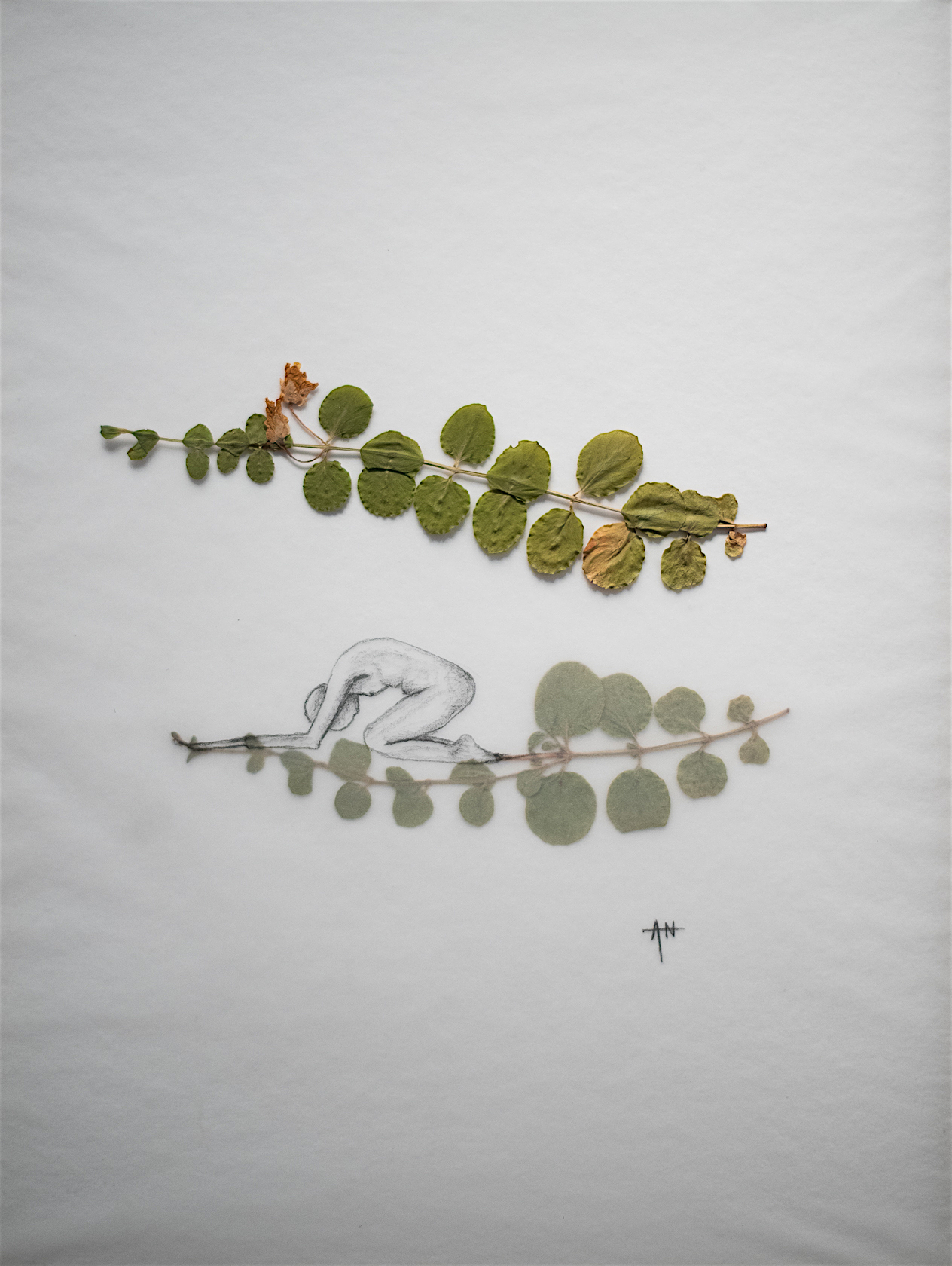 Plante séchées, crayon, calque sur papier. 2018.