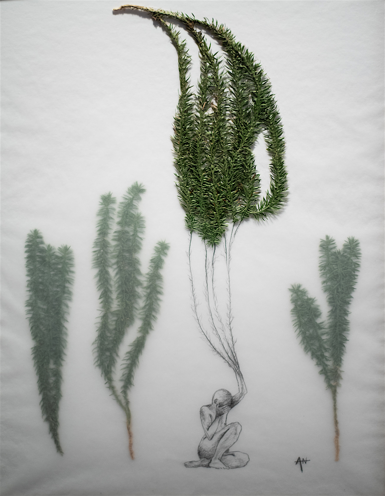 Plantes séchées, crayon, calque sur papier. 2018.
