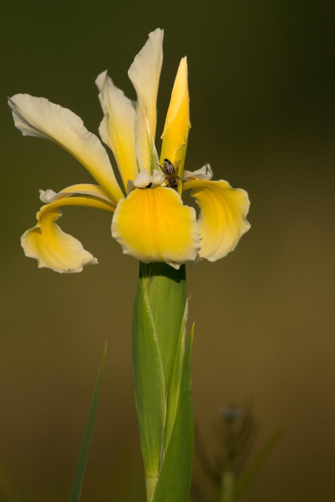 Foto: Benedikt Kirsch, Sumpf-Schwertlilie (Iris pseudacorus)