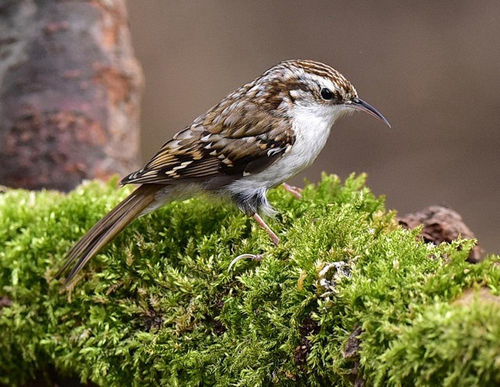Foto: Bernhard Ducke, Waldbaumläufer (Certhia familiaris)