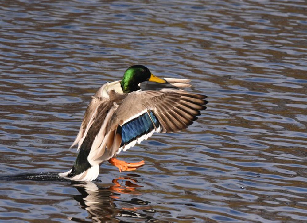 Foto: B. Ducke, Stockente Männchen (Anas platyrhynchos)