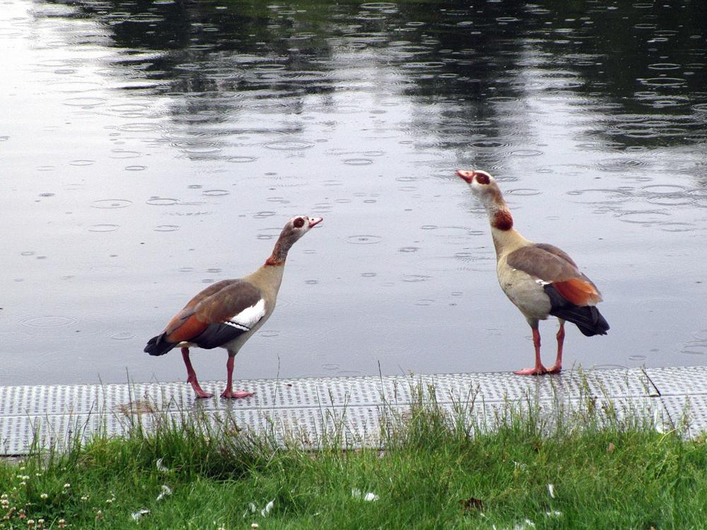 Foto: Annett Erb, Nilgänse (Alopochen aegyptiacus)