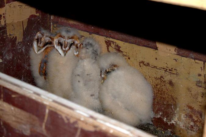 Foto: P. Hess, vier Nestlinge mit Altersunterschied. Nachdem das ersten Ei gelegt wurde, beginnt das Weibchen mit dem brüten.