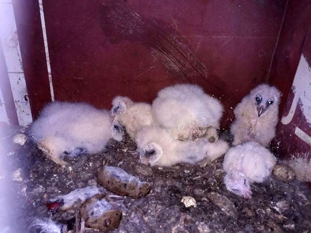 Foto: P. Hess, das sind junge Schleiereulen, die ca. 14 Tage auseinander sind. Im Vordergrund das Beutevorratslager.