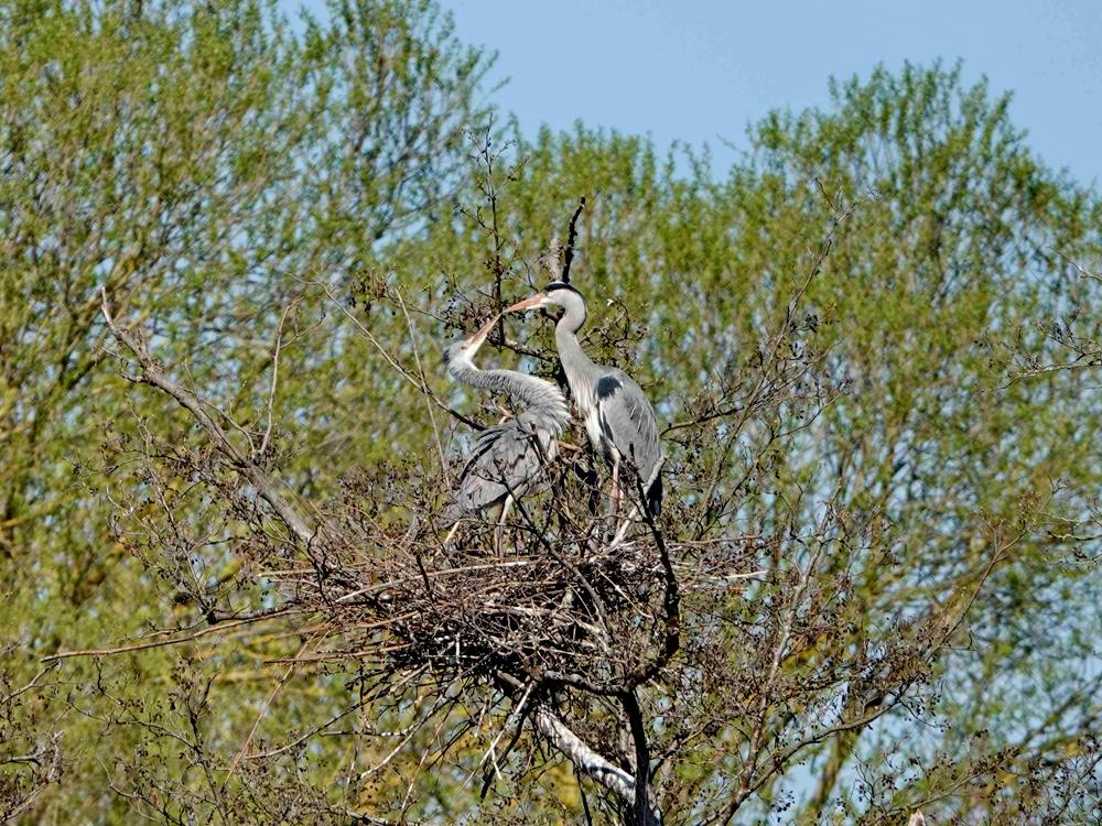 Foto: Robert Schubert, Graureiherpaar (Ardea cinerea) im Nest