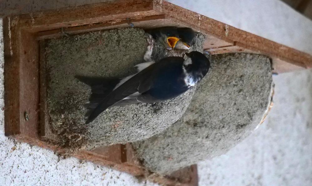 Foto: P. Hess, auch vorgefertigte Nisthilfen werden von den Mehlschwalben gern angenommen.