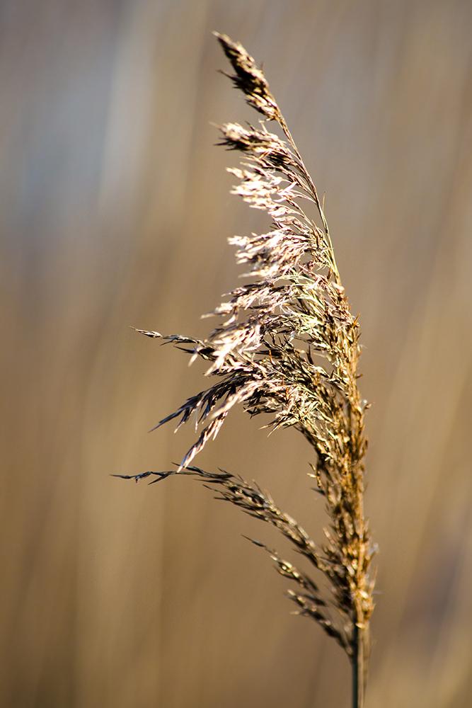 Foto: Benedikt Kirsch, Schilf  (Phragmites australis)
