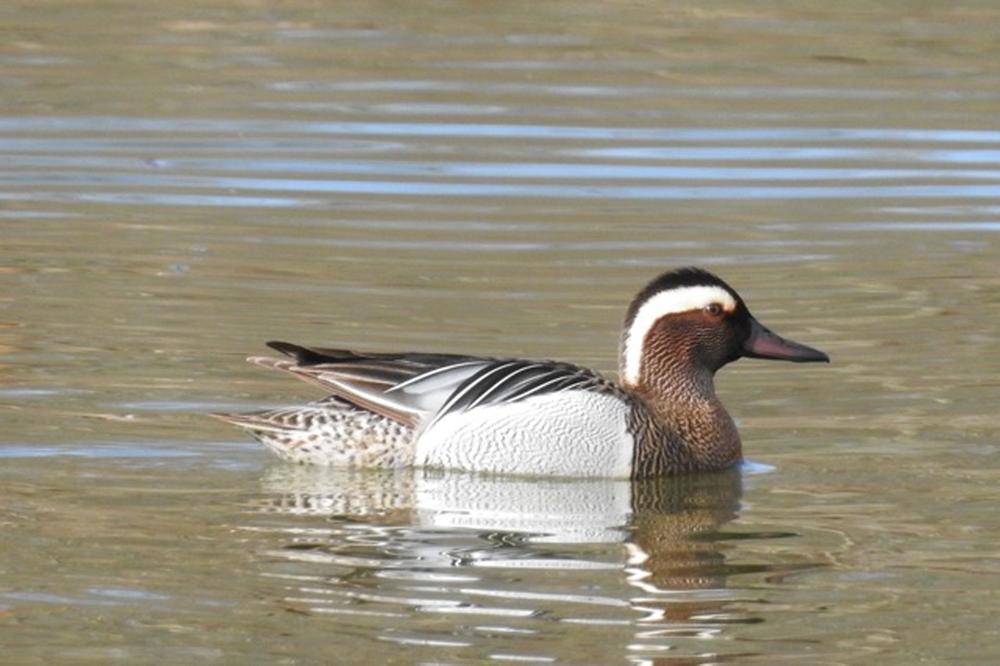 Foto: B. Ducke, Knäkente (Anas querquedula)