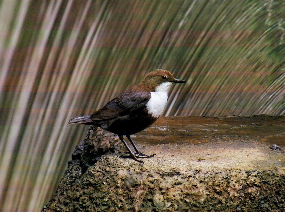 Foto: Andreaas Erb, Wasseramseln (Cinclus Cinclus)