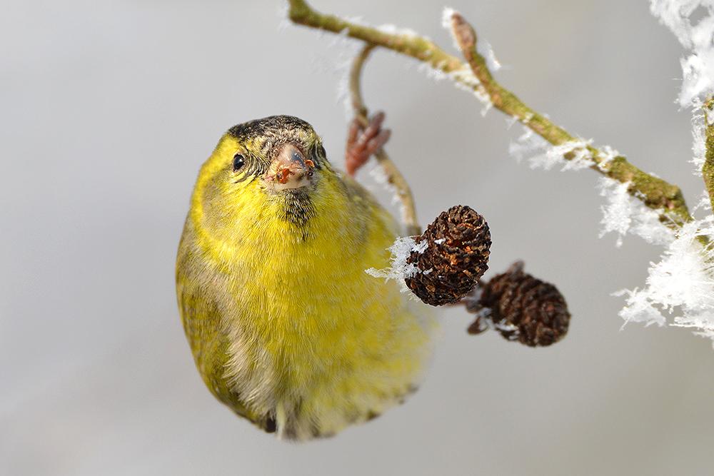 Foto: Benedikt Kirsch, Erlenzeisig (Spinus spinus), Weibchen