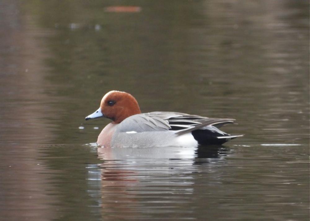 Foto: B. Ducke, Pfeifente Männchen (Anas penelope)