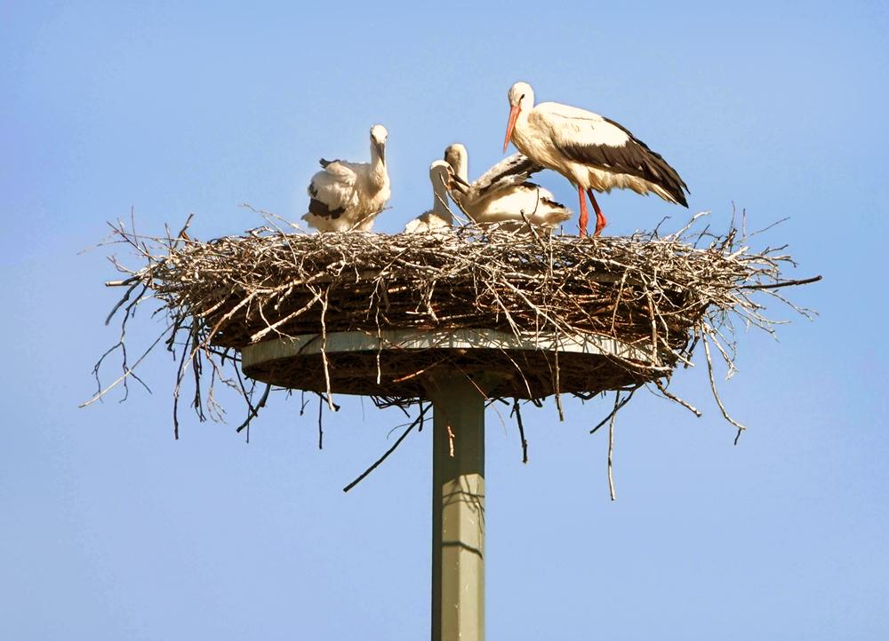 Foto: Robert Schubert, Ein Altvogel mit den drei Jungvögel. Sie sind fast flügge.