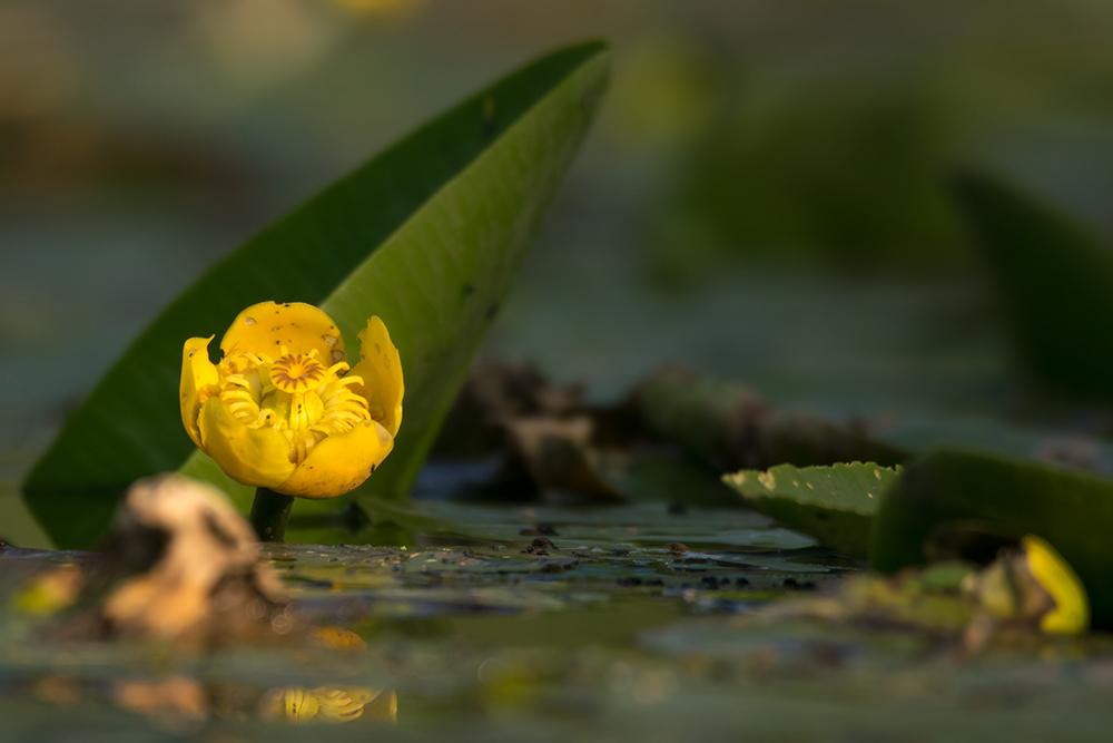 Foto: Benedikt Kirsch, Gelbe Teichrose (Nuphar Lutea luteum)