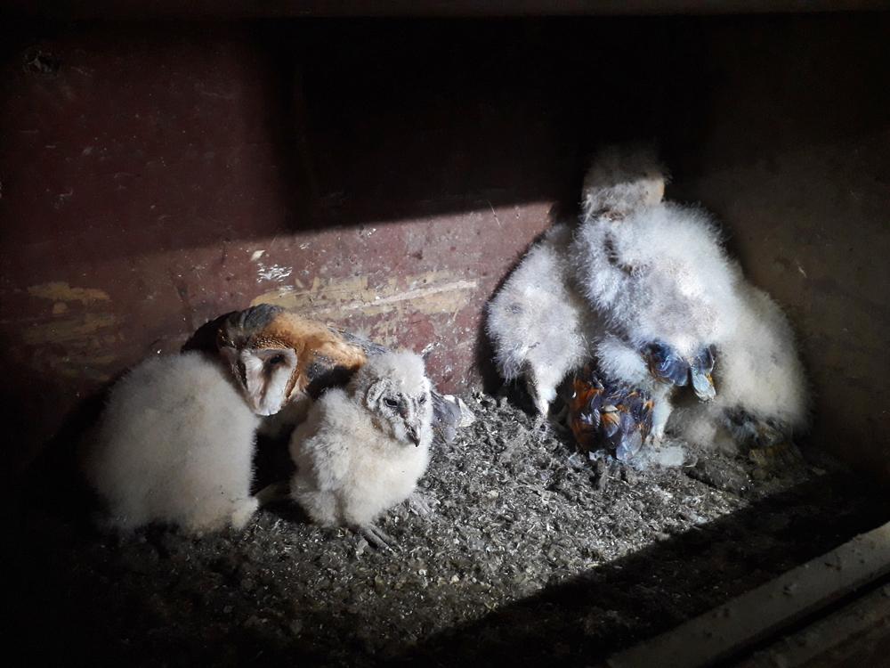 Foto: P. Hess, diese Jungvögel sind bereits weit entwickelt. Das Erstgeborene hat schon das Federkleid der Erwachsenen.