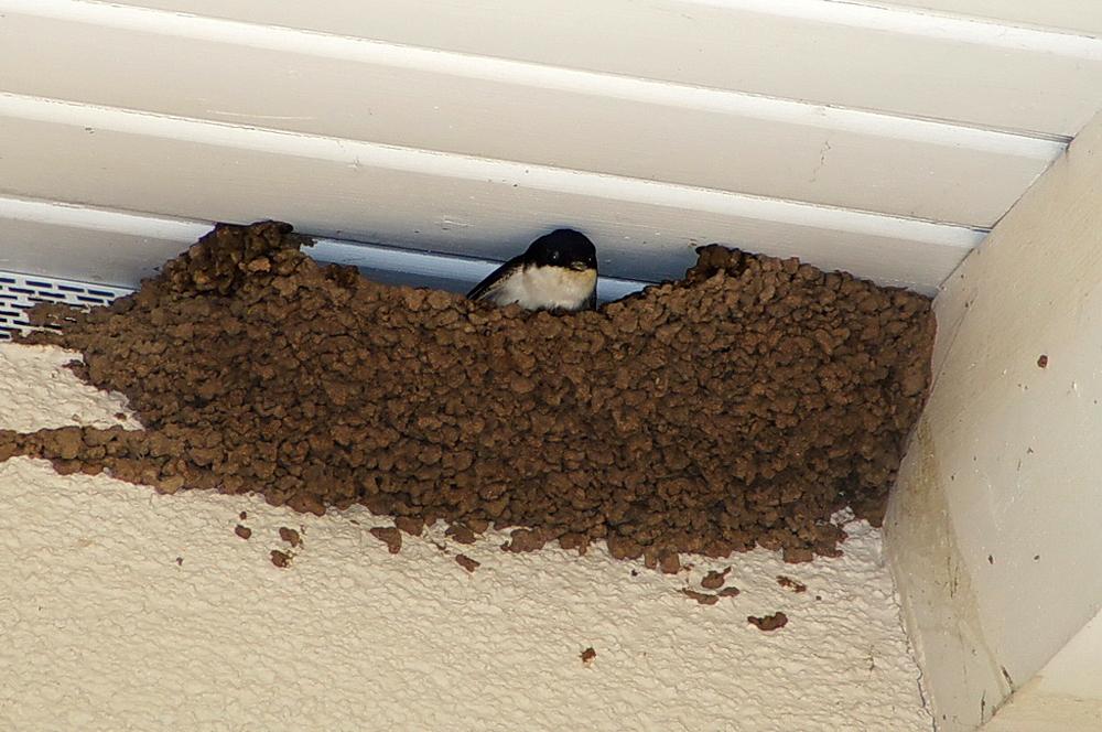 Foto: A. Röhm, Mehlschwalben bauen Lehmnester mit schmalem Einschlupf oft an der Außenwand eines Gebäudes, meist in Kolonien.