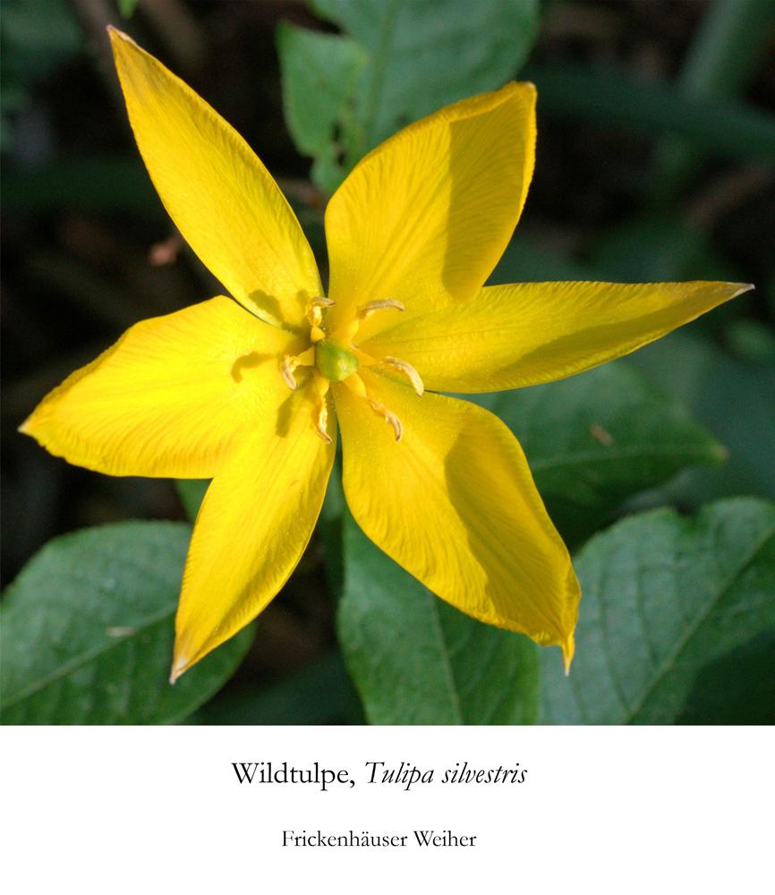Foto: privat, Wilde Tulpe (Tulipa sylvestris)