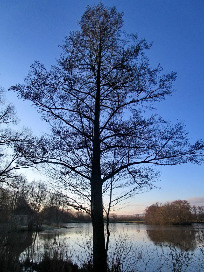 A. Erb: Erlenbaum - Halb Venedig ist auf Erlenpfählen erbaut wurden.