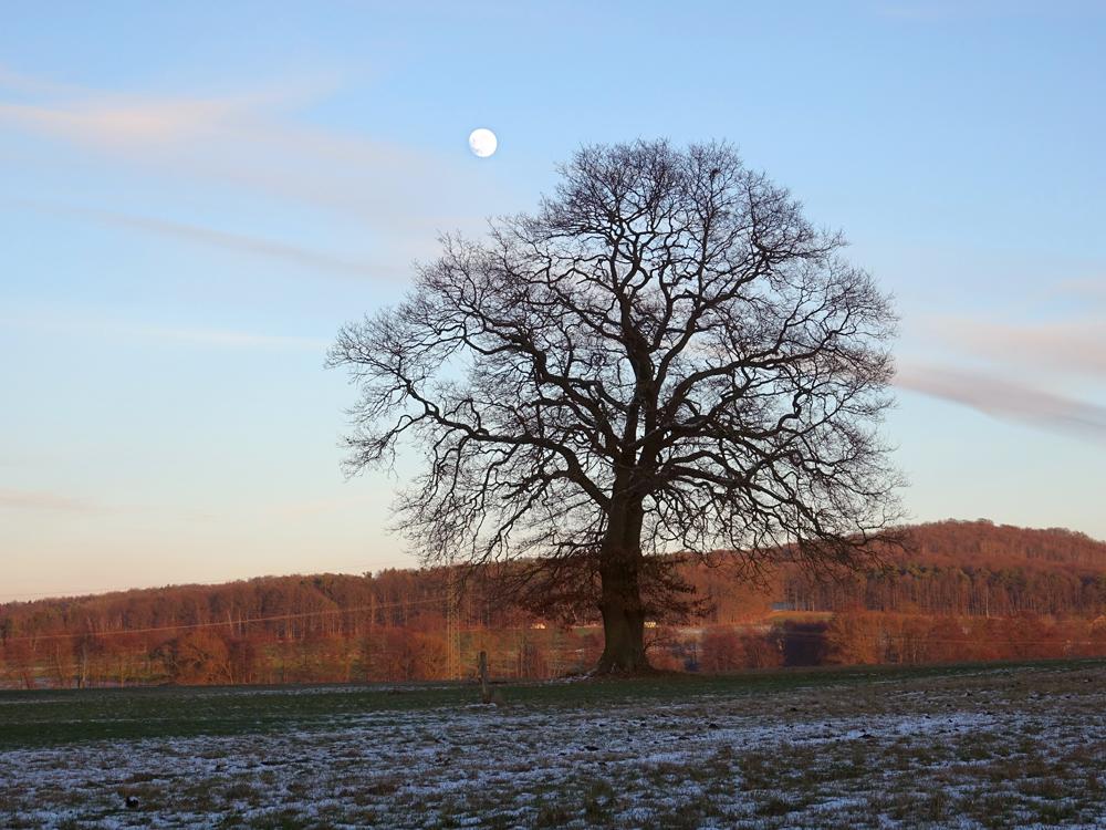 Foto: Robert Schubert, Solitär - Eiche im Winter