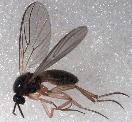 Mycetobia sp. ♀