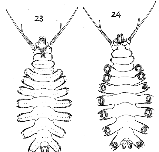Larvae of  Deuterophlebia nipponica 23: dorsal 24: ventral (Kitakami, 1938)