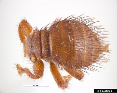 Cryptochetidae