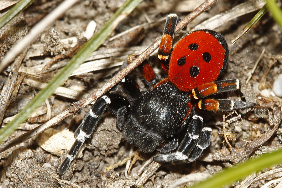 Rote Röhrenspinne (Eresus kollari) Männchen