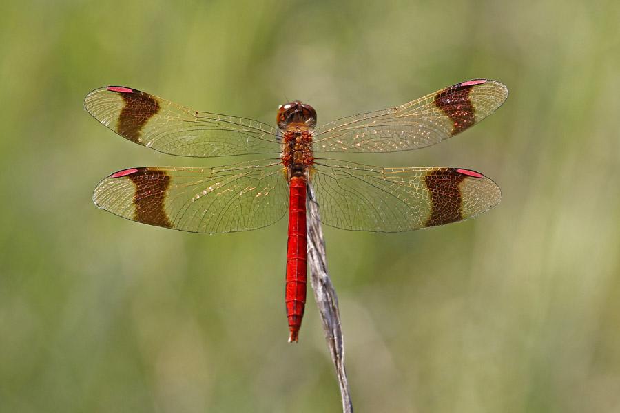 Gebänderte Heidelibelle (Sympetrum pedemontanum) Männchen