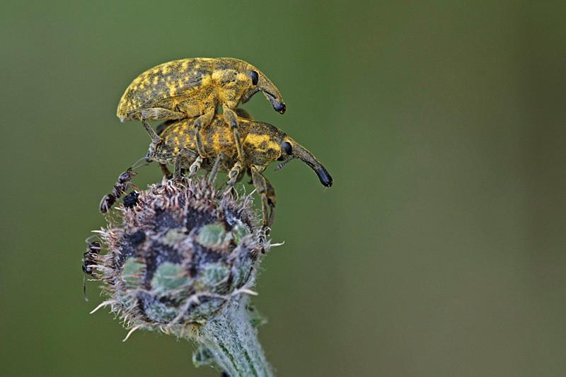 Warum die Rüsselkäfer Rüsselkäfer heissen (Larinus sturnus)