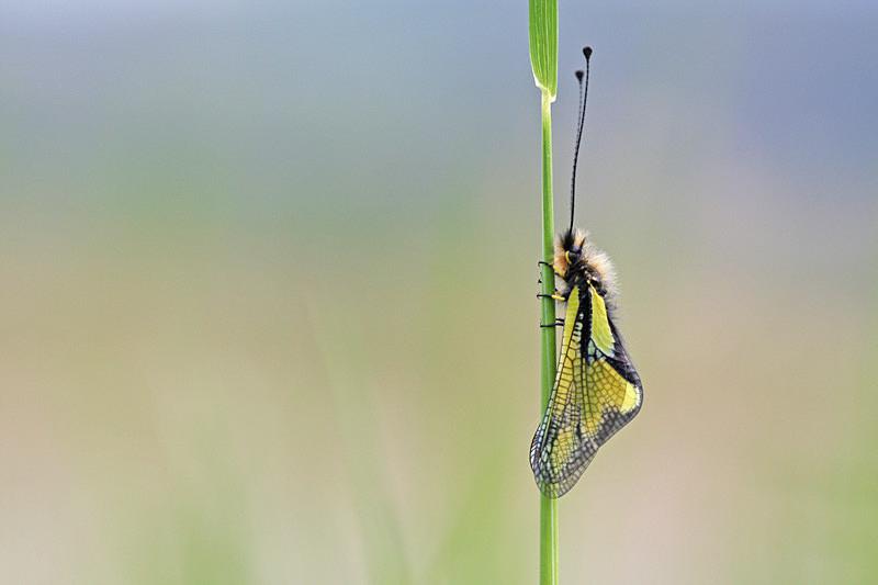 Libellen-Schmetterlingshaft (Libelloides coccajus) in Ruhestellung
