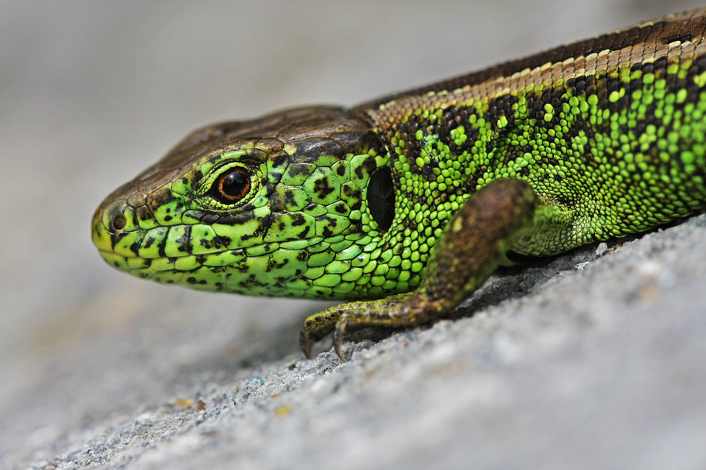 Zauneidechse (Lacerta agilis) - Männchen