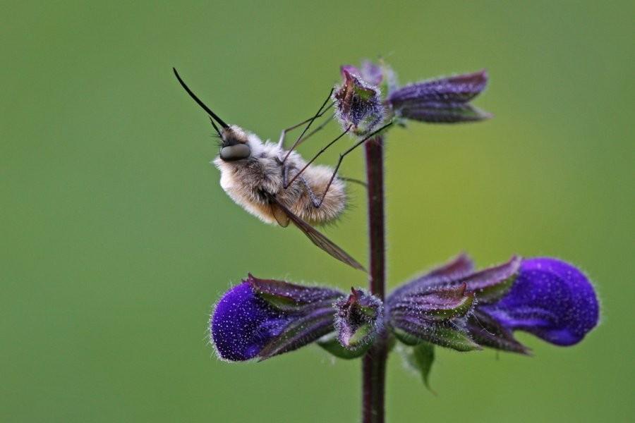 Wollschweber (Bombylius sp.)