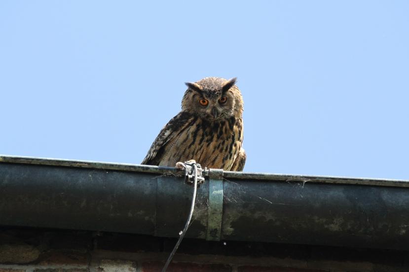 Altvogel schaut nun von der Dachrinne nach dem Rechten.           Foto: NABU / Borck