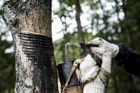 Entnahme von urushi harz aus einem lackbaum