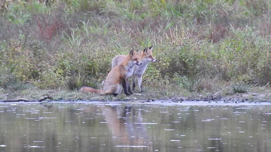 Fuchs (Foto: M. Manyoki)