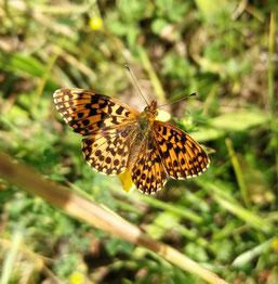 Magerrasenperlmutterfalter, Foto: N. Chalwatzis