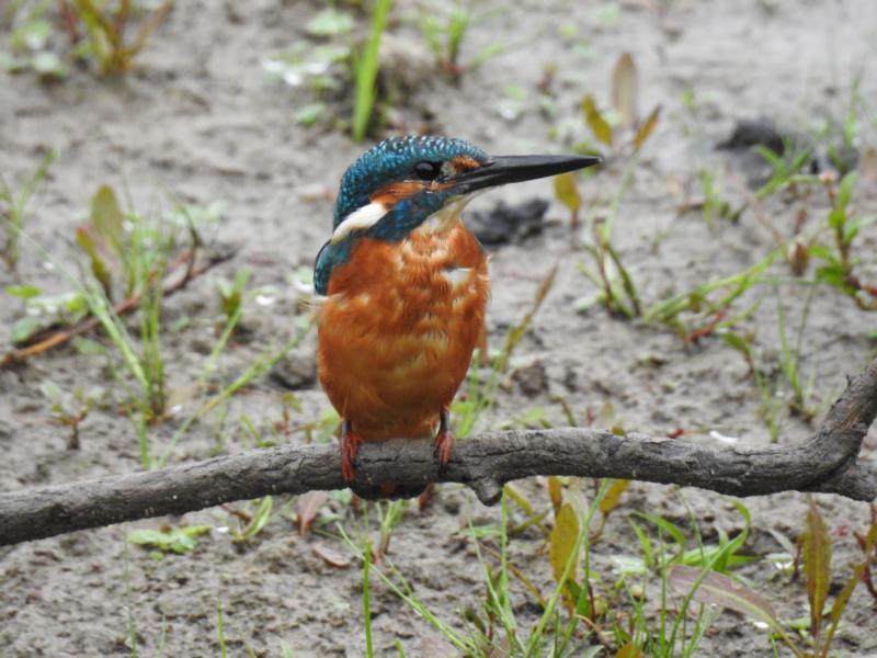 Eisvogel (Foto: M. Manyoki)