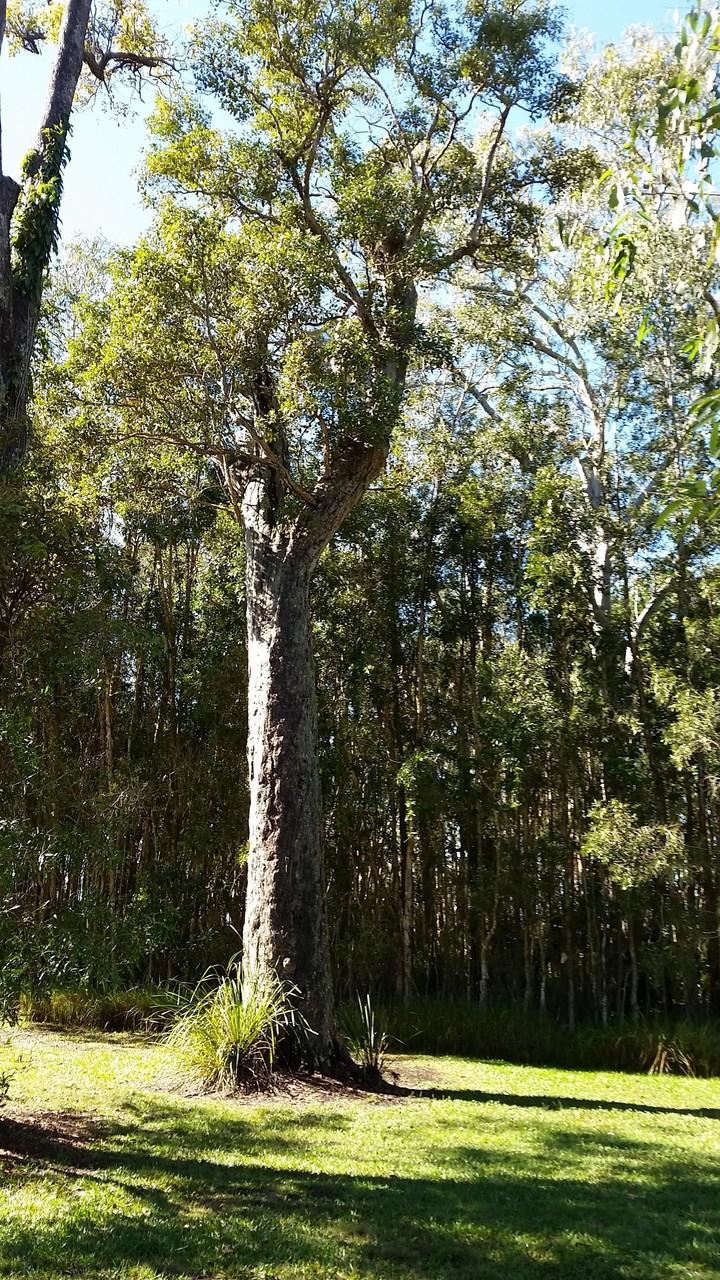 Male Tree