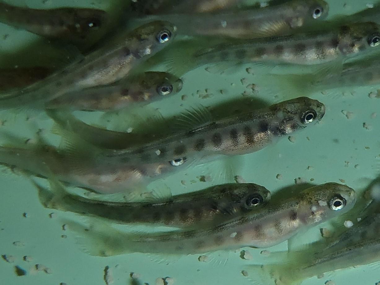 27.04.2019 Bachforellenbrütlinge Unterwassernahaufnahme