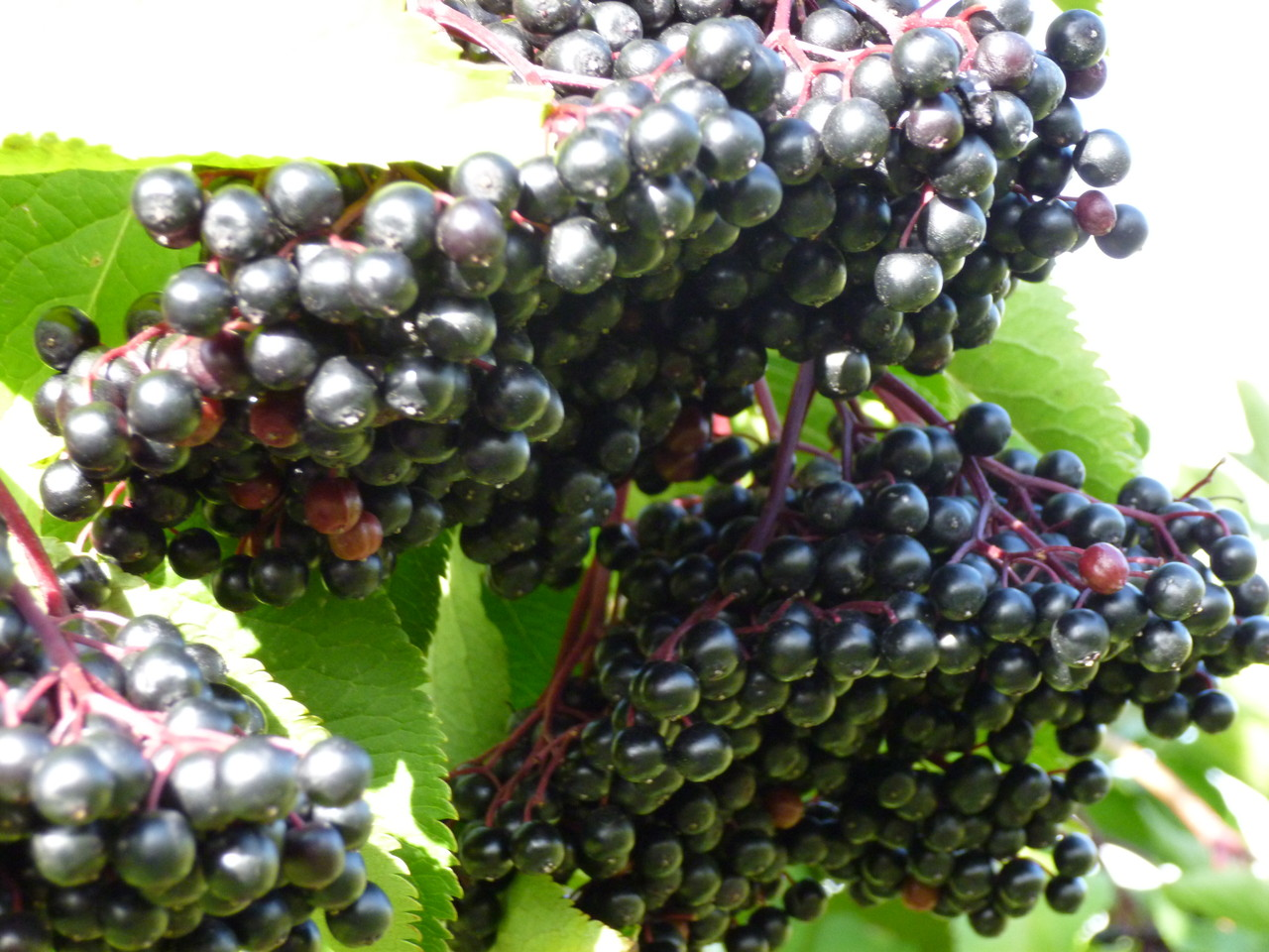 Très beaux fruits cette année