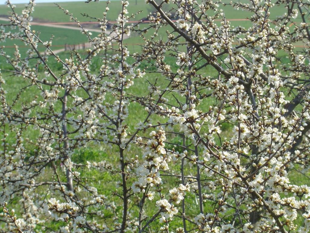 Prunellier en fleurs ou épine noire