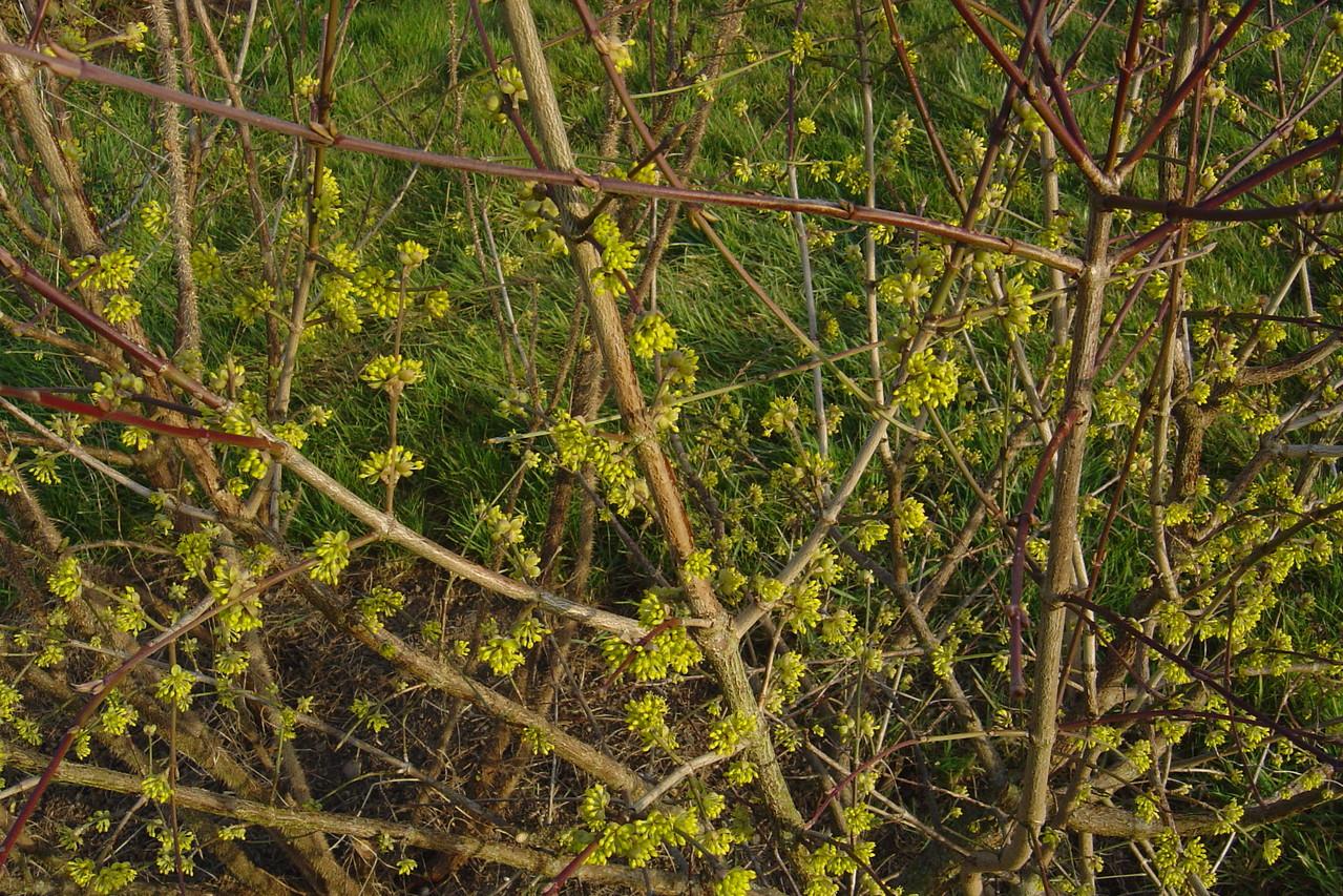 Cornouiller mâle en fleurs