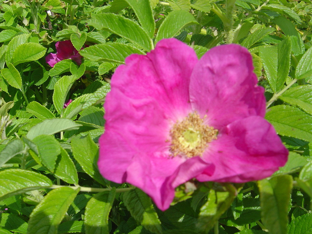 Fleur de rosier rugueux